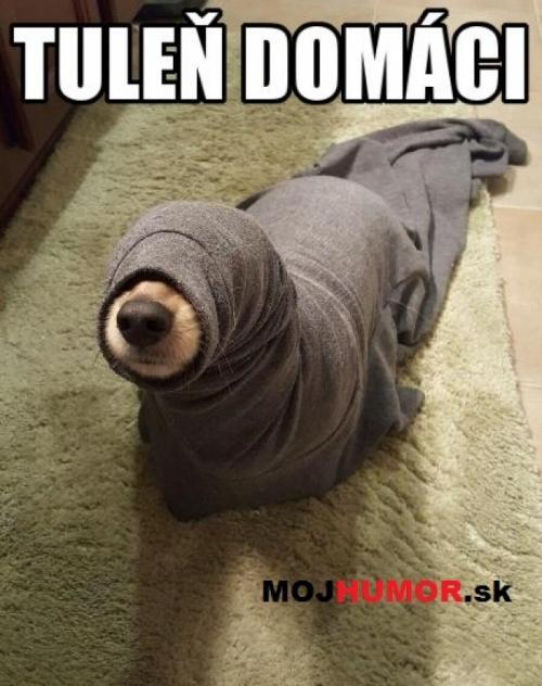 Tuleň domáci