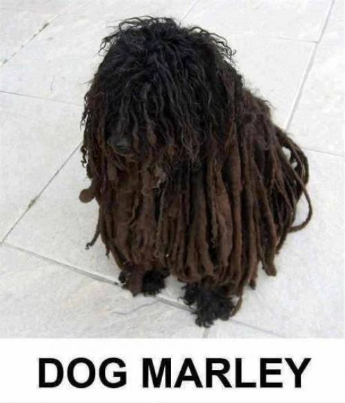 Pejsek Marley