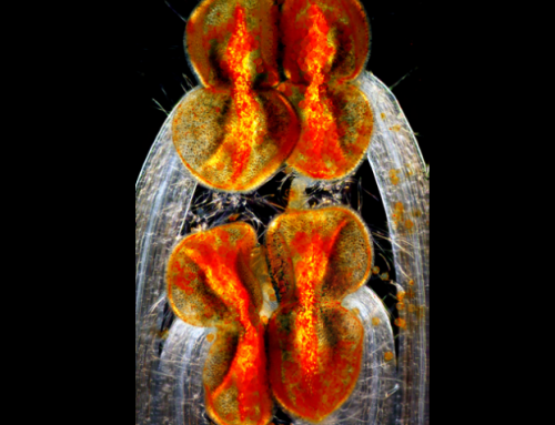Hluchavka - win Lee [Pod mikroskopem]