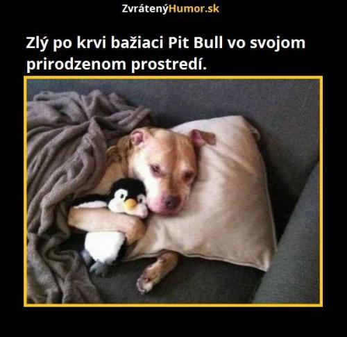 Krvelačný pitbull..