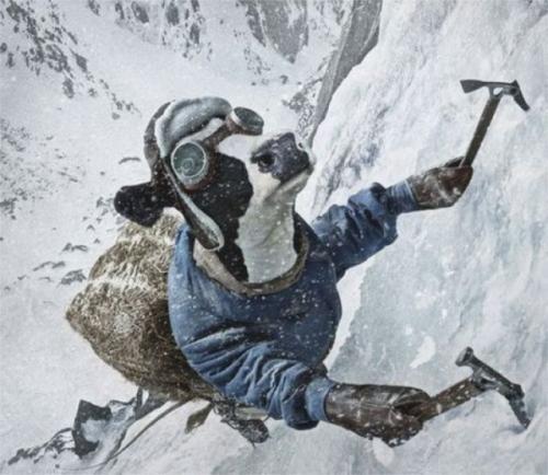 Kráva horolezec