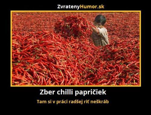Sběr chilli papriček