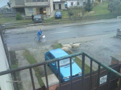 cykloovcak
