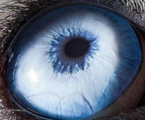 X Husky dog eye