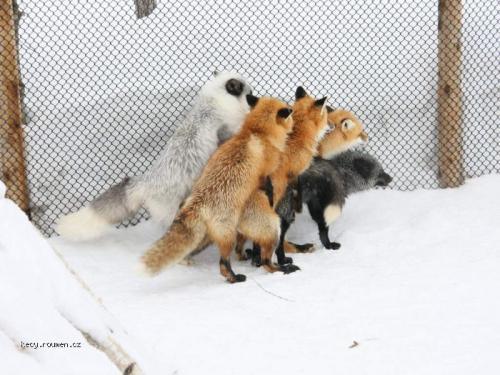 kreslený fox sex chlupatá kočička velké bradavky