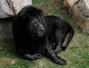 Černý lev