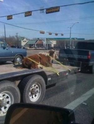 Přeprava krávy