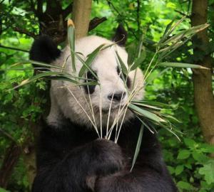 Panda se schovává