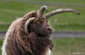 Trojitý kozel