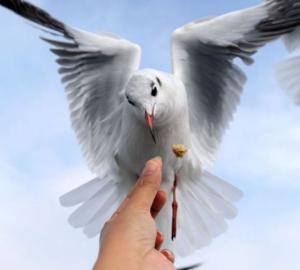 Krmení holuba