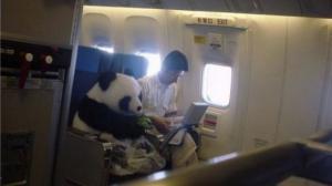 Panda v letadle