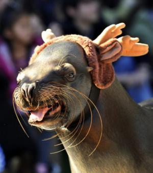 Vánoční lachtan