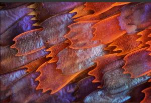 Motýlí křídla - Charles Krebs [Pod mikroskopem]
