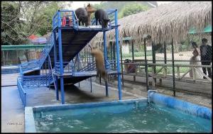 Prasata skáčou do vody