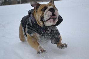 Bulldog....