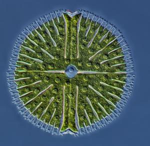 Jednobuněčná řasa - Rogelio Moreno Gill [Pod mikroskopem]