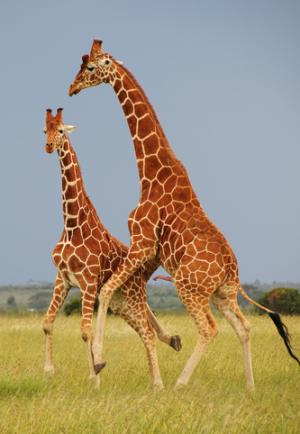 Žirafí hrátky dvou samců