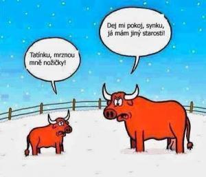 Býci to v zimě nemají vůbec jednoduché