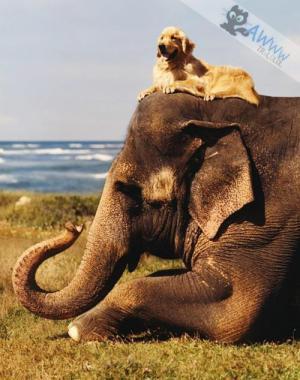 Zlatý retrívr a jeho sloní kamarád