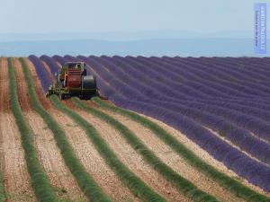 Sklizeň levandule - Francie