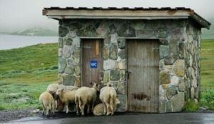 Ovce u záchodu