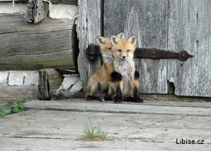 Lišky - já se bojím