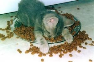 Kočička a jídlo