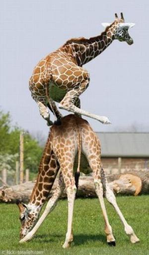 Žirafa na žirafě