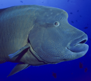 Ryba - Pyskoun