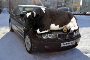 BMW má každá kráva