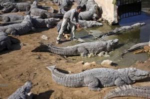 Výběh krokodýlů