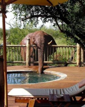 Pijící slon
