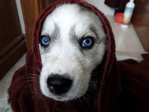 Pes - modré oči