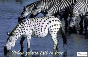 zamilovaná zebra