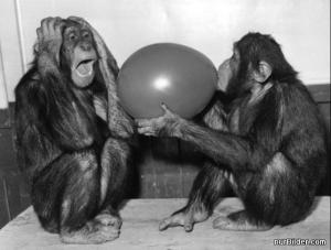 Šimpanzi s balónem