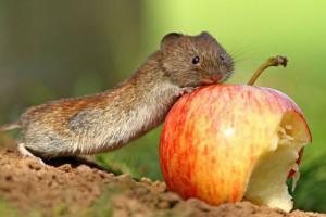 Maxi jablko