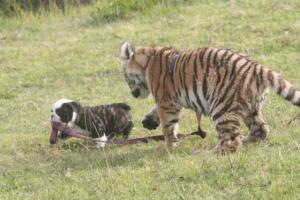 Venčení tygra 2