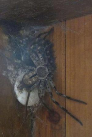 malej pavouček