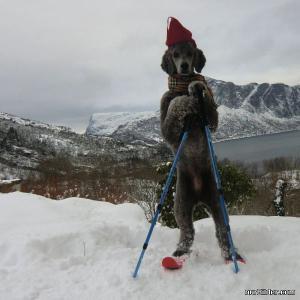 Pes lyžař