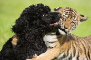 Tygr vs. pudl