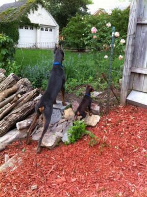 Psi za plotem