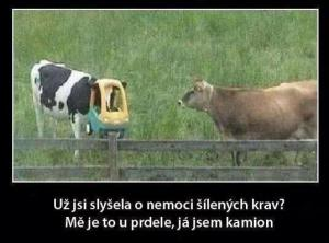 Šílené krávy
