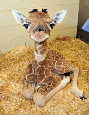 Roztomilá žirafa