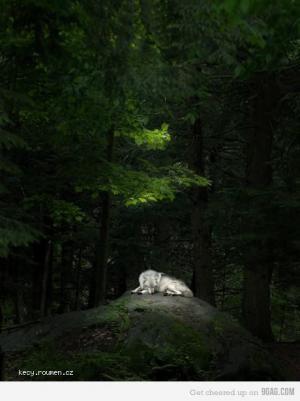 FA wolf
