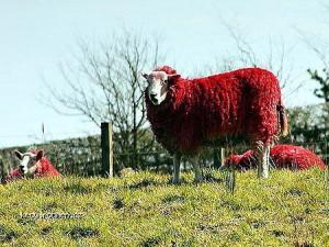 Red Sheep Of Scotland