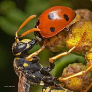 hmyzi polibek