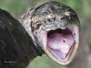 zelva s picou na jazyku