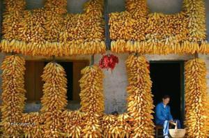 kukuricovna