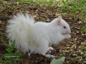 veverka albin