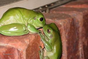 laska v zelenem